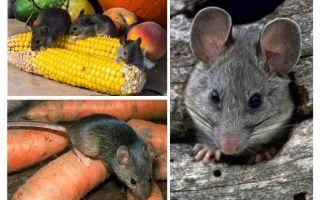 Comment traiter les souris dans le pays et le site