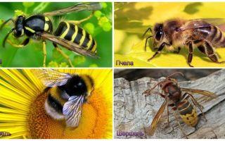 Quelle est la différence entre guêpe, abeille, bourdon, frelon
