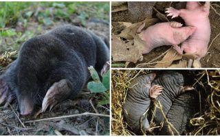 Description et photos de taupes nouveau-nés