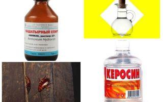 Les remèdes populaires les plus efficaces contre les cafards