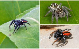 Araignées sauteuses (araignées sauteuses)