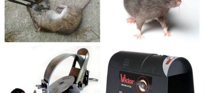 Pièges à rats