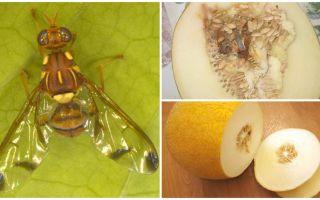 Description d'une mouche à melon et méthodes de traitement