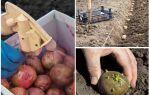 Avant la plantation, la pomme de terre du doryphore et du ver filaire du Colorado