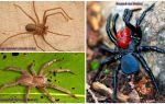 Description et photos des araignées les plus dangereuses du monde