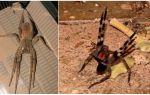 Araignée errante brésilienne (coureur, errant, soldat)