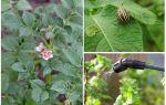 Est-il possible de traiter les pommes de terre de dendroctones du Colorado pendant la floraison