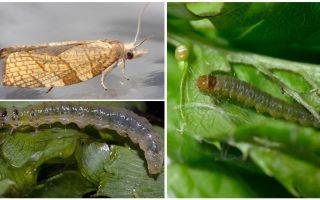 Comment se débarrasser des papillons sur les groseilles