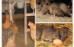 Comment traiter les rats dans le poulailler