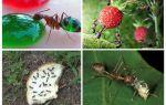 Que mangent les fourmis dans la nature