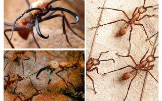 Les fourmis les plus dangereuses du monde
