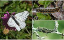Description et photo de la chenille et du papillon Hawthorn comment se battre