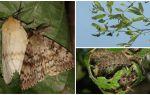 Description et photo de la chenille de la spongieuse