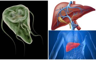 Giardia dans le foie - symptômes et traitement