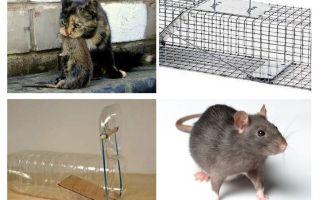 Comment faire sortir des rats d'une maison privée