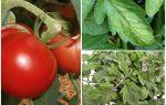 Pucerons sur les tomates - que traiter et comment se battre