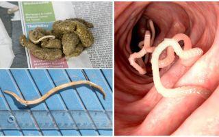 À quoi ressemblent les vers ronds dans les excréments humains?