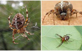 Crusader Spider Description et Photos