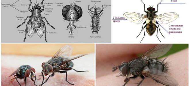 La structure de la mouche