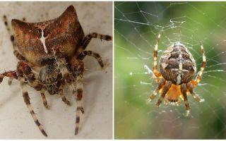 Spider jogging: photo et effets après une bouchée