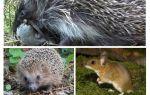 Les hérissons mangent des souris