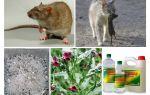 Comment enlever les rats de la grange remèdes populaires
