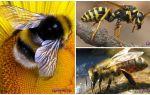 Différences de guêpe, abeille et bourdon