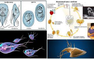 Cycle de vie de Giardia et traitement des kystes