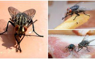 Pourquoi les mouches se frottent les pattes