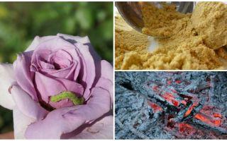 Comment vaporiser des roses de chenilles et de pucerons