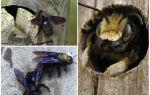 Comment enlever les abeilles de bois d'une maison en bois