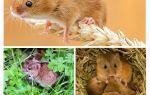 Où vivent les souris