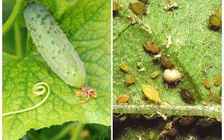 Quoi et comment traiter les pucerons sur les concombres dans les serres et les champs