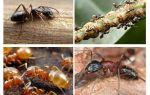 Les fourmis de jardin nuisent et profitent