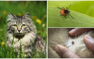 Que faire et comment traiter une tique chez un chat ou un chat