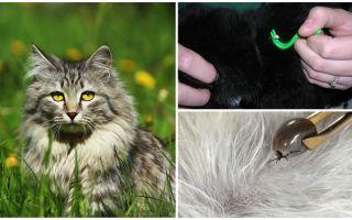 Comment enlever une tique d'un chat ou d'un chat
