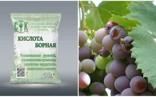 Comment protéger le raisin des guêpes pendant sa maturation