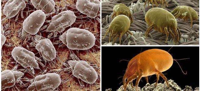 Description et photos des acariens