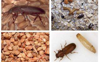 Mouches noires dans les céréales, la farine, les pâtes et comment s'en débarrasser