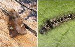 Description et photo de papillons et de chenilles apprennent à se battre