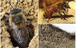 Comment supprimer les abeilles terrestres du site