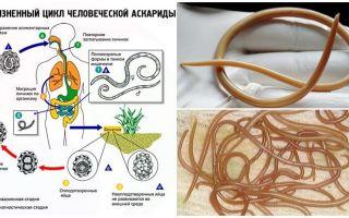 Symptômes et traitement de l'ascaridiase chez l'adulte