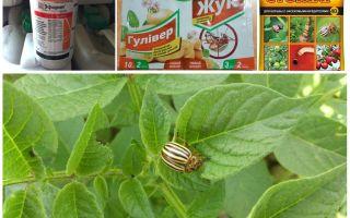 Les poisons les plus efficaces et les poisons du doryphore de la pomme de terre