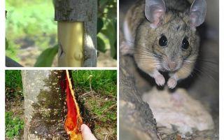 Comment sauver le pommier, si les souris capturent l'écorce