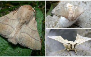 Description et photo de papillon chenille et ver à soie