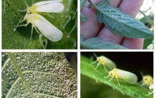 Comment faire face à la mouche blanche dans la serre