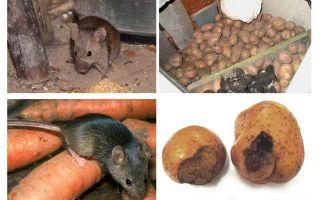 Comment sortir les souris de la cave