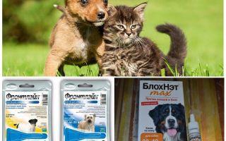 Comment et comment protéger un chien contre les moustiques et les mouches noires