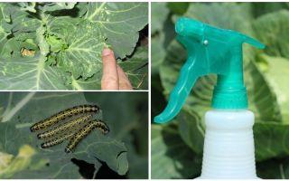Comment se débarrasser des papillons et des chenilles du chou
