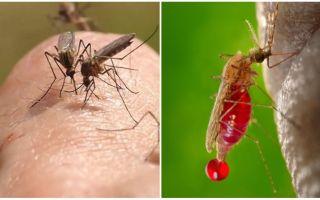 Combien de fois une piqûre de moustique peut-elle